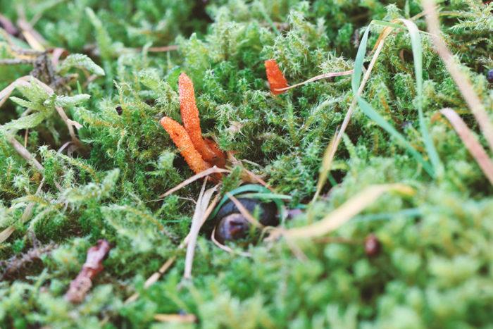 Anbau von Cordyceps sinensis (Raupenpilz)